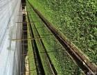 白芨GAP种植与种苗