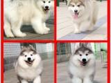 佛山狗场出售多个宠物品种 阿拉斯加犬 品质好纯血统健康签协议