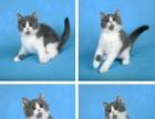 贵阳《欢享宠物》包健康,实地看猫美短英短蓝猫蓝白折