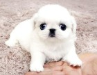 兰州哪里卖京巴犬幼犬兰州京巴多少钱一只哈巴狗多少钱京巴图片