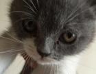 自家繁殖英短加白蓝猫