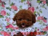 金华哪里有泰迪犬出售 纯种泰迪茶杯型 迷你型颜色齐全