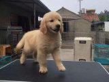 出售纯种大头枫叶红金毛 大骨架 免费送狗上门 签质保协议