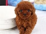 出售纯种泰迪犬幼犬小型犬卷毛泰迪犬贵宾泰迪 茶杯犬