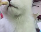金吉拉猫找新主人