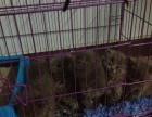 纯种蓝猫英短蓝猫俄罗斯蓝猫幼猫 保证售后