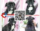 纯小体法国斗牛犬幼犬 丨 正规犬舍 丨 专业繁殖