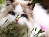 威海哪里有布偶猫卖 海豹双色 重点手套均有CFA认可多只可挑