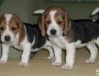 纯种比格犬纯种三色比格幼犬 大耳纯正比格幼犬疫苗齐
