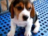 佛山出售纯种精品比格犬活体中型宠物狗狗米格鲁狗比格幼犬