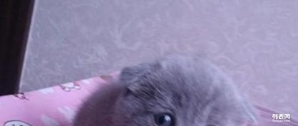可爱的折耳猫毛让好心人领养
