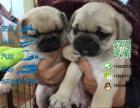 哪一家宠物店卖纯种健康的八哥犬多少钱一只