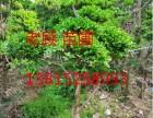 私家别墅果树批发 苏州工程企业绿化 私家别墅景观绿化施工