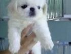 上海本地免费领养自家大狗生的京巴宝宝,公母都有疫苗驱虫已做
