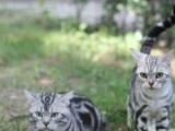 【米粒家的猫】美短虎斑绿眼包子脸后代 萌妹纸一枚
