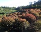 重庆垫江风生苗木场出售大量红叶石楠(高杆球/矮球)