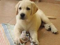 犬舍出售纯种拉布拉多幼犬 价格500品质优良 签订活体协议