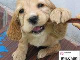 纯种可卡犬狗狗出售