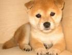 拒绝星期狗 专业繁殖柴犬可货到付款 可基地挑选