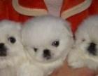 超级萌狗狗 白色茶杯犬小京巴 快来疼爱它们吧