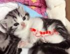 美国短毛猫活体 纯种银虎斑加白折耳猫幼猫低价出售