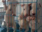 中国较大双血统牛头梗繁殖基地 可实地考察