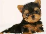 约克夏犬 卖约克夏犬 重庆出售约克夏犬