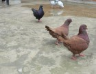 元宝鸽 大鼻子鸽 凤尾鸽 点子鸽支持货到付款