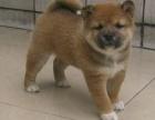 狗场直销各类世界名犬 健康质保 可上店看犬 可