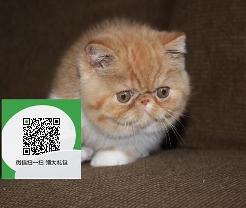 镇江哪里有加菲猫出售 镇江加菲猫价格 加菲猫多少钱