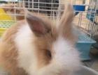 8个月黄白道奇猫猫兔弟弟