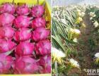 有人想吃火龙果吗?江西村游网给你送好吃的了!