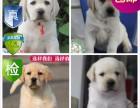 重庆出售 精品拉布拉多幼犬 超低价 只限今天