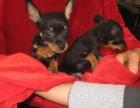 深圳出售小鹿犬金毛泰迪哈士奇萨摩耶秋田德牧阿拉斯加等各种名犬