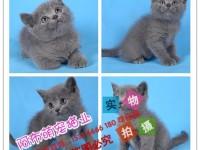 常州出售英短蓝猫渐层蓝白美短虎斑起司折耳蓝白蓝猫加菲猫暹罗猫