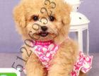 精品泰迪幼犬签协议包健康纯种保障