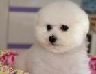 纯种比熊犬幼犬小型长不大纯种法国卷毛茶杯袖珍活体