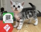 柳州哪里卖美短 柳州哪里有宠物店 柳州哪里卖宠物猫便宜