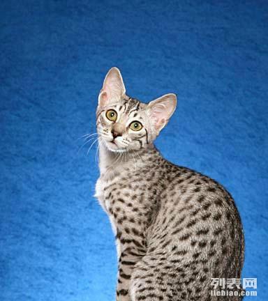 埃及法老猫成年公猫接受配猫图片