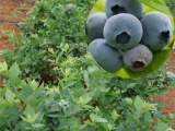 批发优质果树苗,供应南高丛蓝莓苗.·夏普蓝(Sharpblue)