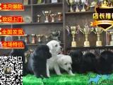 出售高品质纯种拉布拉多幼犬 优选犬舍品质保证