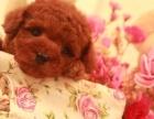 超可爱 超完美 专业繁育 永不缺货 泰迪幼犬