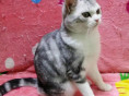 宠物猫CFA英国短毛猫花色蓝白英短猫找新家