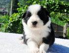 哪里有卖纯种双血统边境牧羊犬纯种的长什么样子