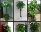 广州办公室植物租摆,花木租摆,圣诞红,三角梅批发