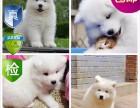 重庆出售 精品萨摩耶幼犬 超低价 只限今天