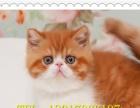 灰色白色梵花净梵猫 纯种加菲猫宠物活体幼猫弟弟公猫 异国短毛