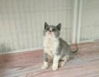 英短蓝白正八字开脸小公特价1111 猫咪价格以标题