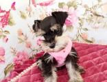 佛山健康雪纳瑞多少钱一只 购犬签协议 品质保障