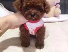 买狗找我 上海哪里有卖纯种贵宾,贵宾多少钱?